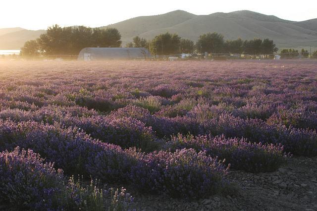 Lavender Farm in Mona, UT