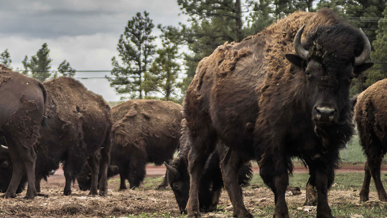 Bison at Bearizona \\ These 7 Arizona Weekend Road Trips are a great way to get away a day or two and see everything that Arizona has to offer!