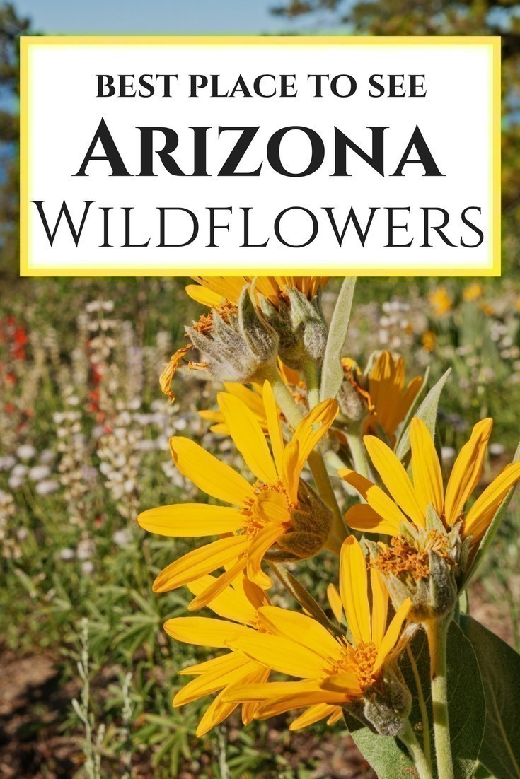 The best places to see Arizona Wildflowers. From northern Arizona to the meadows of the White Mountains, learn where to see the best wildflowers in Arizona!