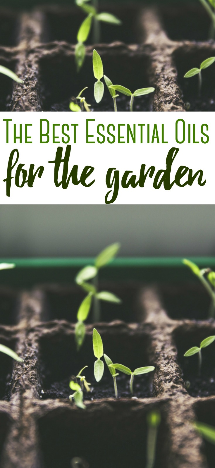 Essential Oils can be tremendously helpful in your homestead - they can help you ward off critters, attract pollinators and provide relief to the gardener. Find out the best essential oils to use in your garden.