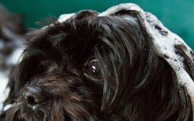 DIY Foaming Non-Toxic Dog Shampoo with Essential Oils